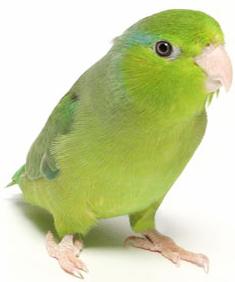 Dwarf Parrot